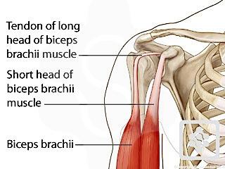 shoulder tendons | shoulderdoc, Muscles