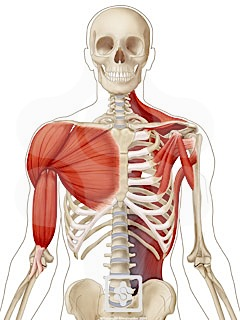shoulder muscles | shoulderdoc, Cephalic Vein