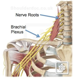 The Nerves From Your Neck Nerve Roots Also Travel Down Your Arm Via The Brachial Plexus Thus Neck Pain May Extend Down Your Arm