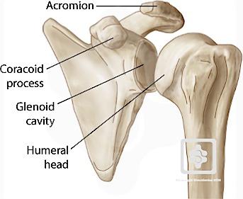 bones & joints of the shoulder | shoulderdoc, Skeleton