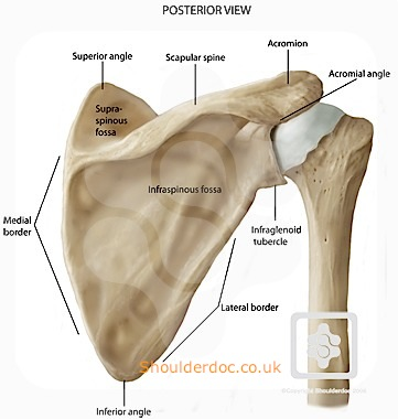 bones & joints of the shoulder | shoulderdoc, Human Body
