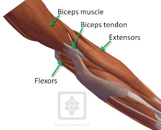 chronic pain of the extensors at the elbow is known as 'tennis elbow' and  chronic pain of the flexors is called 'golfers elbow'