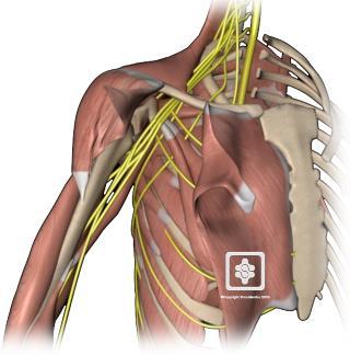 nerves of the shoulder | shoulderdoc, Muscles