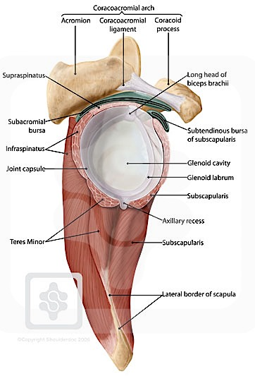 shoulder bursae | shoulderdoc, Human Body