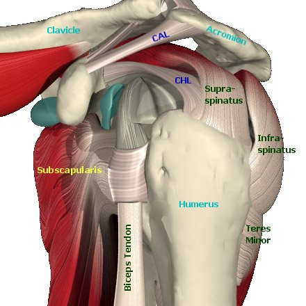 Tendons of the shoulder: